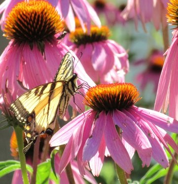 A yellow swallowtail enjoying a purple coneflower. Photo by Mary Howe.