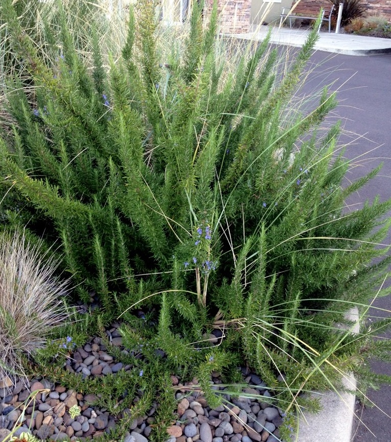 In-ground rosemary thrives in coastal California, but not in colder Long Island gardens. Photo c Sandra Vultaggio.