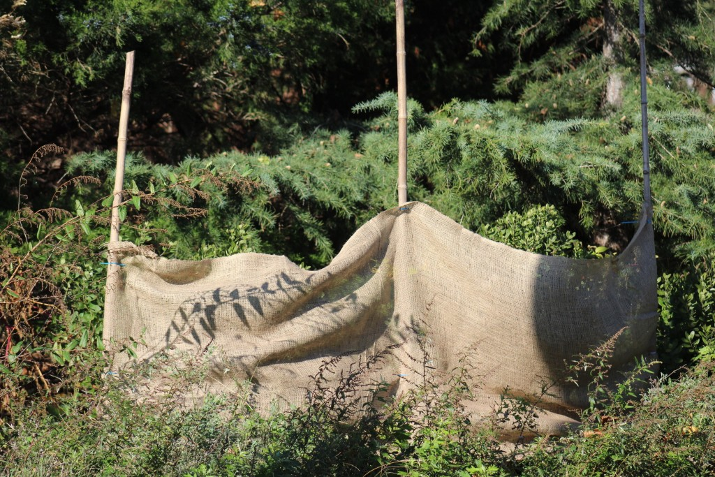 A piece of burlap posted in front of these inkberry plants will protect them from winter sun and wind. Photo c Alice Raimondo.