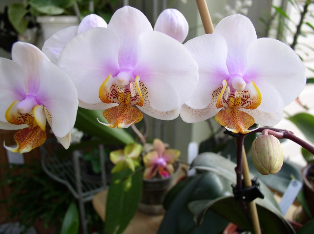 Phalenopsis orchids love humidity. Photo c Alice Raimondo.