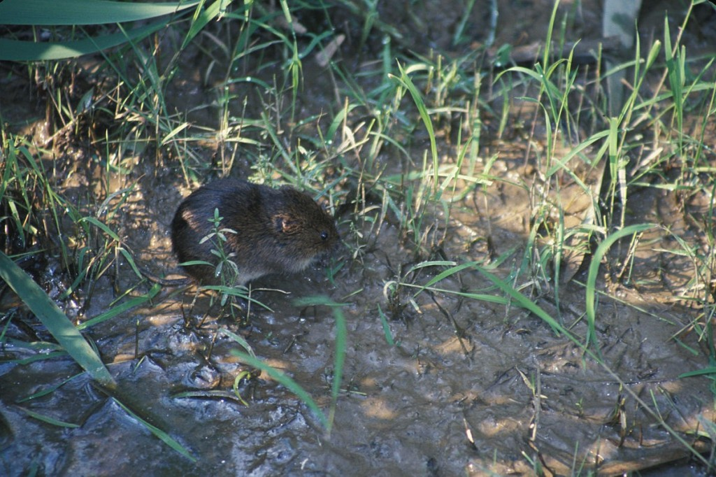 The meadow vole is common on Long Island. Photo by John Mose.