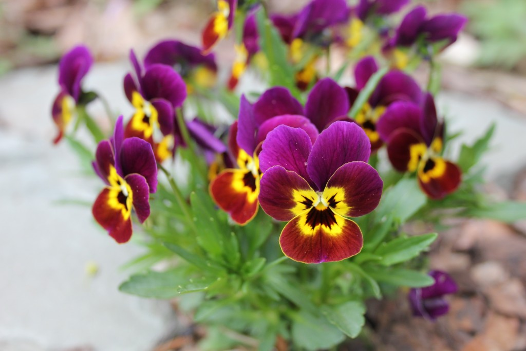 Violas or pansies are blooming outdoors now! Photo c Sandra Vultaggio.