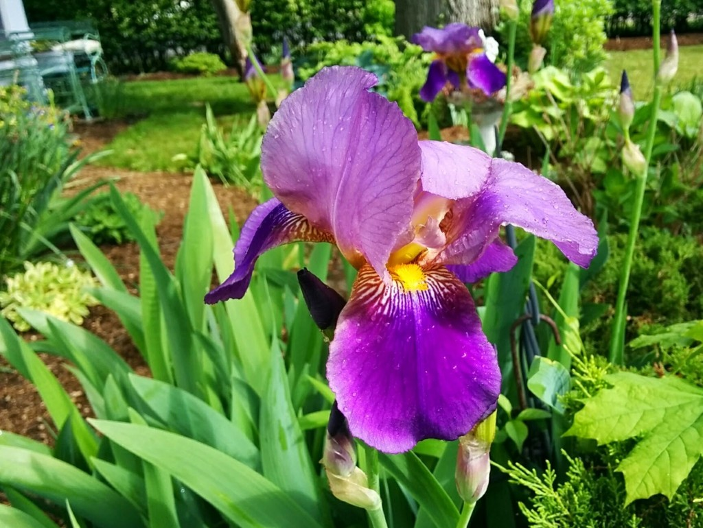 Who can resist the glorious iris? Photo by Kate Rowe.