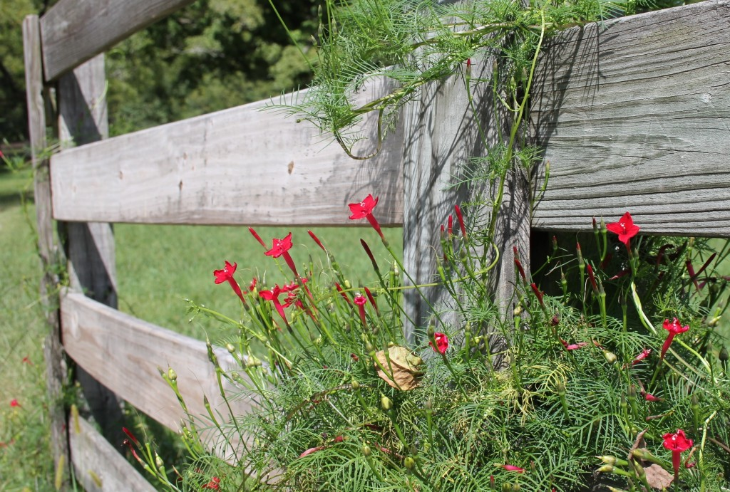 Cypress vine makes a great splash of color on a wooden fence.