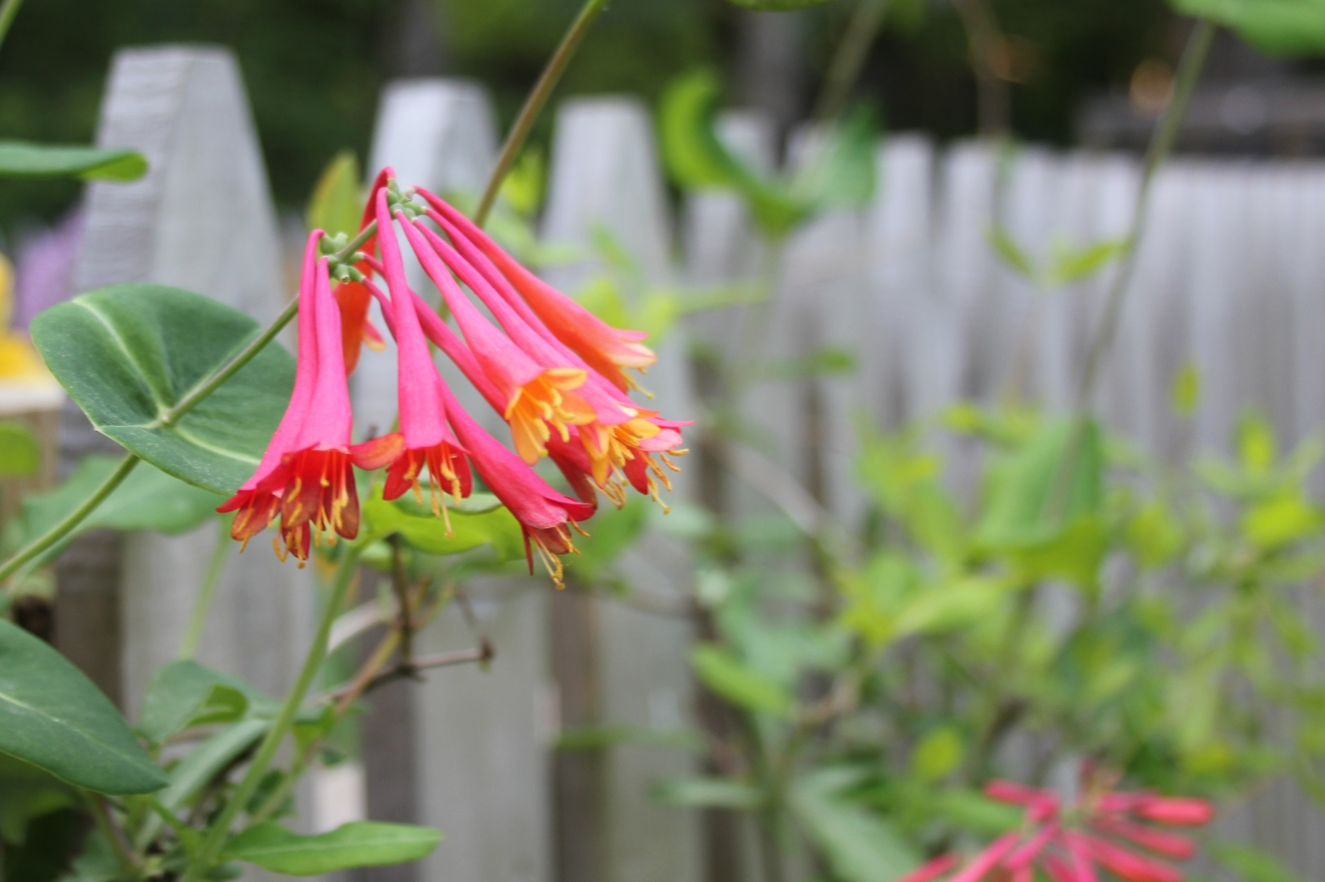 Our Wonderful Native Honeysuckle Attracts Hummingbirds