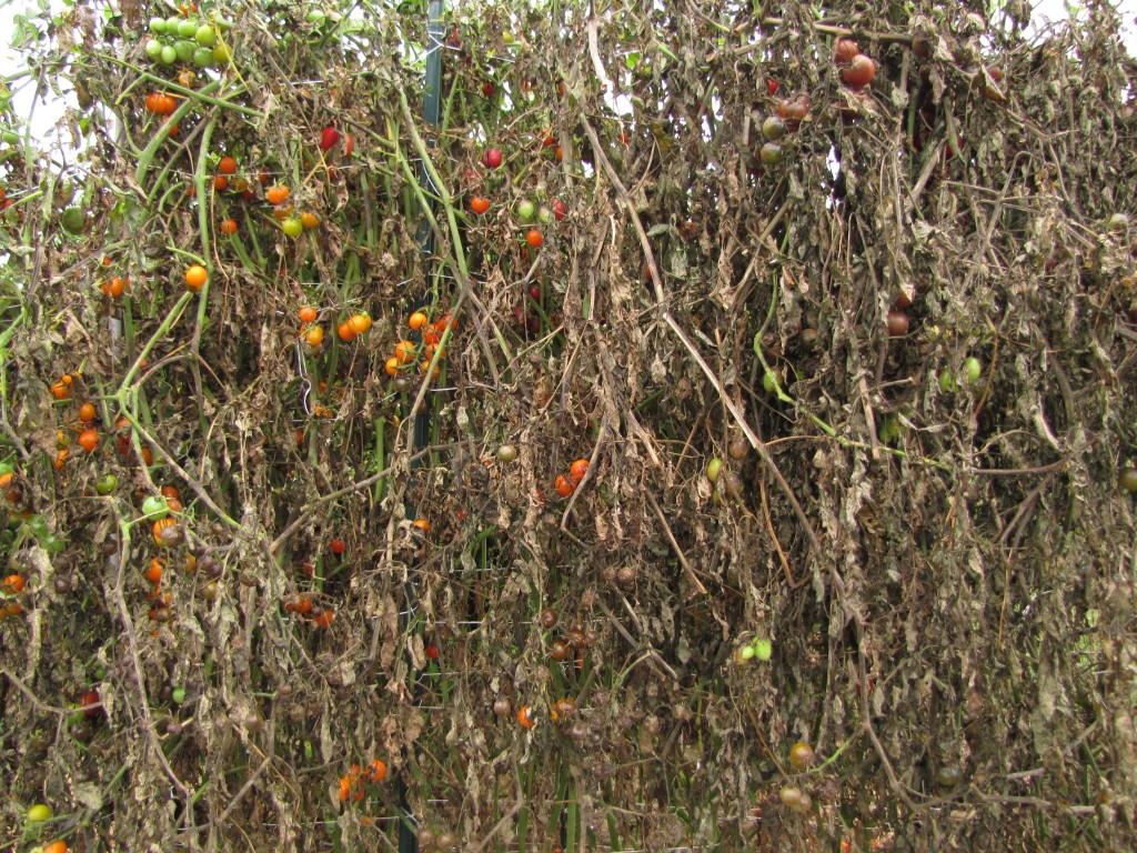 Sungold cherry tomato can be devastated by late blight, as it was here in my garden in 2013.