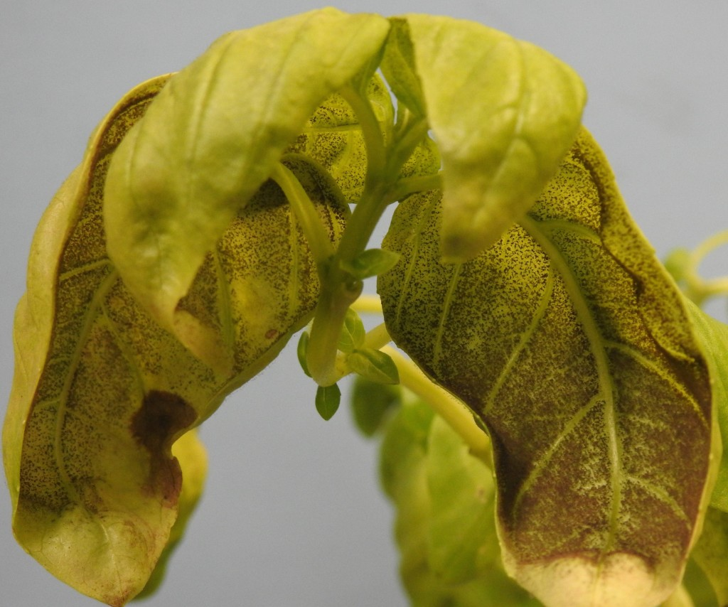 basil-downy-mildew