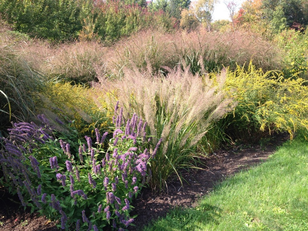 Giant hyssops, switchgrass, and goldenrod are some of the species growing in this rain garden at Cornell Plantations in Ithaca, planted next to its parking lot to absorb and clean polluted storm-water run off. Photo