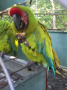 A Great green macaw chowing down on a homemade treat containing anti-parasite treatment.