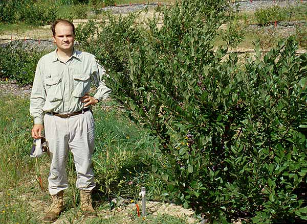 Rick Uva at the Coonamessett orchard in the summer of 1999. Note the size of beach plums planted in the fertilized treatment after two years in the orchard.