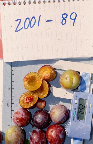 Smaller and more astringent than other plums, beach plums' unique flavor makes them desirable to process into preserves.