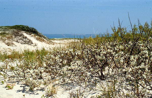 Beach plum, Prunus maritima, is a medium-sized shrub that is found growing in coastal dune lands. (Sandy Neck, Barnstable, Mass.)