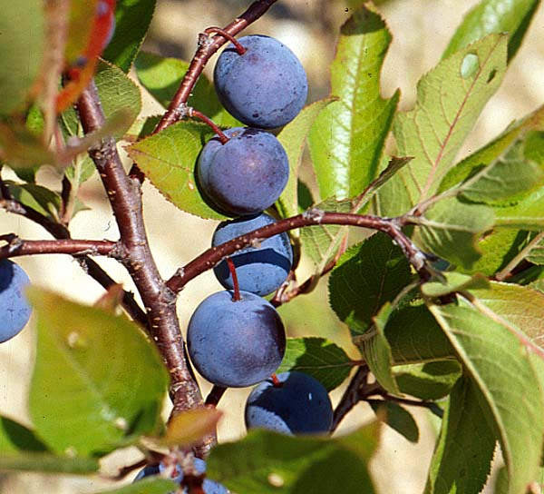The beach plum is a native American fruit. Its close relatives are Japanese and European plums, which are grown as horticulture crops.