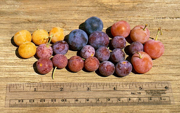 Fruits ripen from late August through September, with colors ranging from yellow to dark purple.