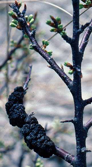 Black knot, a fungal disease, affects beach plum and other stone fruit.