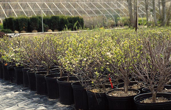 Beach plum plants are available from nurseries (Sylvan Nursery, Dartmouth, Mass., above) and are used in landscaping and sand dune stabilization.