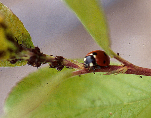 "Aphids, such as Hysteroneura setariae, may be controlled naturally by predatory insects like the ""lady bug"" shown here."