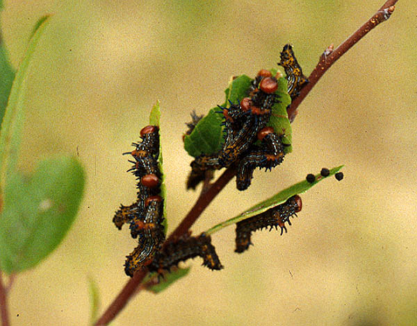 Red humped apple moth caterpillars, Schizura comcinna, can defoliate plants.