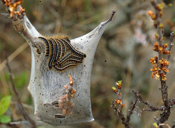 Tent caterpillars also can infest beach plums.