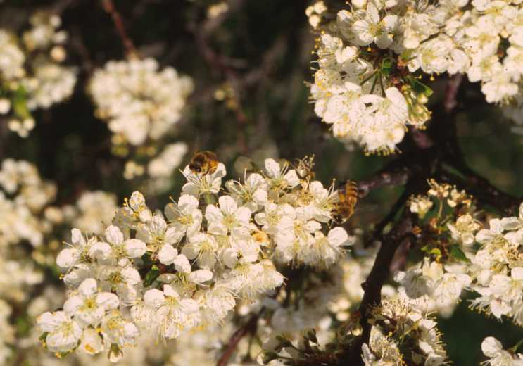 Bees gathering pollen and nectar from beach plum flowers.