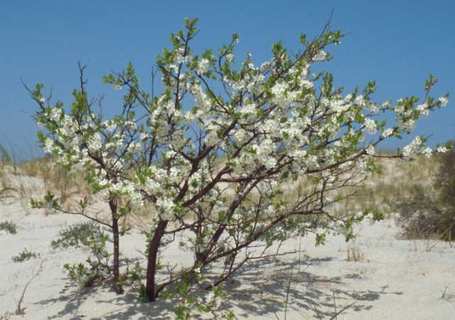 Beach plum growing on sand dune.
