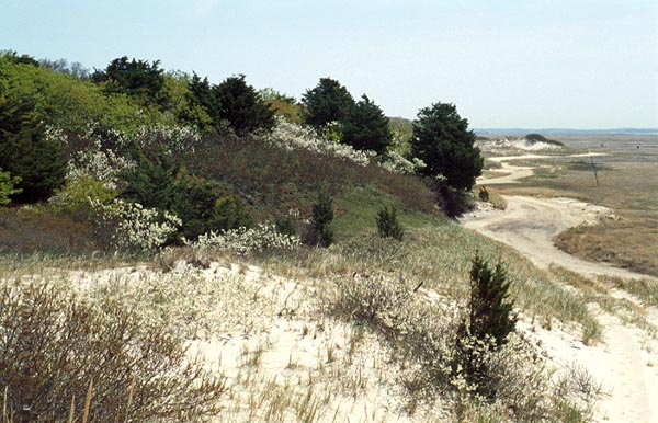 ... in shrub communities of Sandy Neck marsh trail, Barnstable, Mass., often less than 100 meters from the ocean.