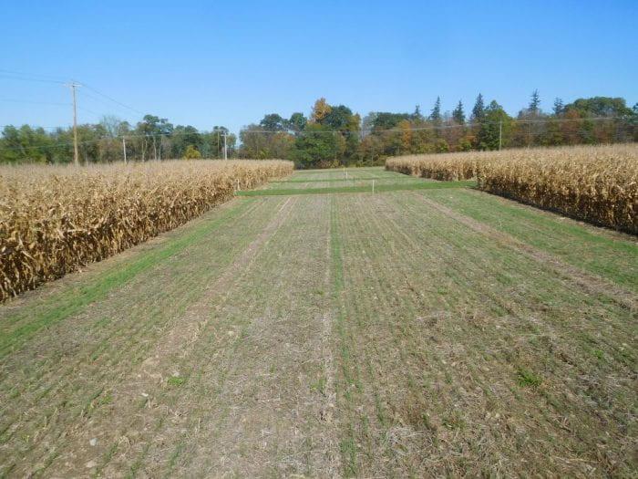 Fall wheat