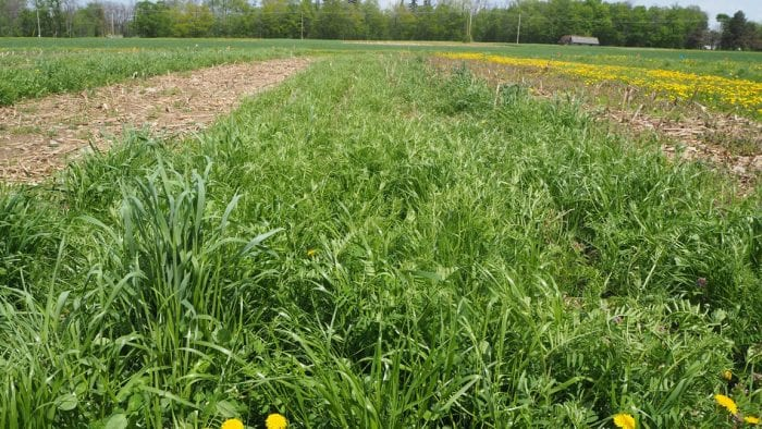 Cover crop test plots at Musgrave