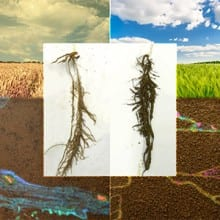 bacteria on wheat roots in dryland and irrigated conditions
