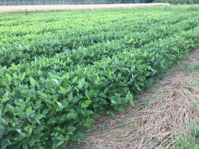 Soybean plants emerge through a mulch of rye cover crop. Photo credit: Matt Ryan