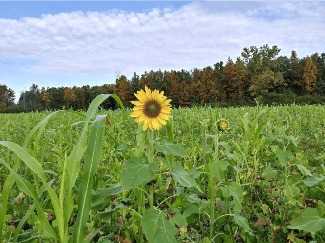 Red Clover and Sunflower Cover crops