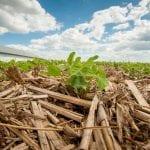 No till Soybeans emerging through corn stubble