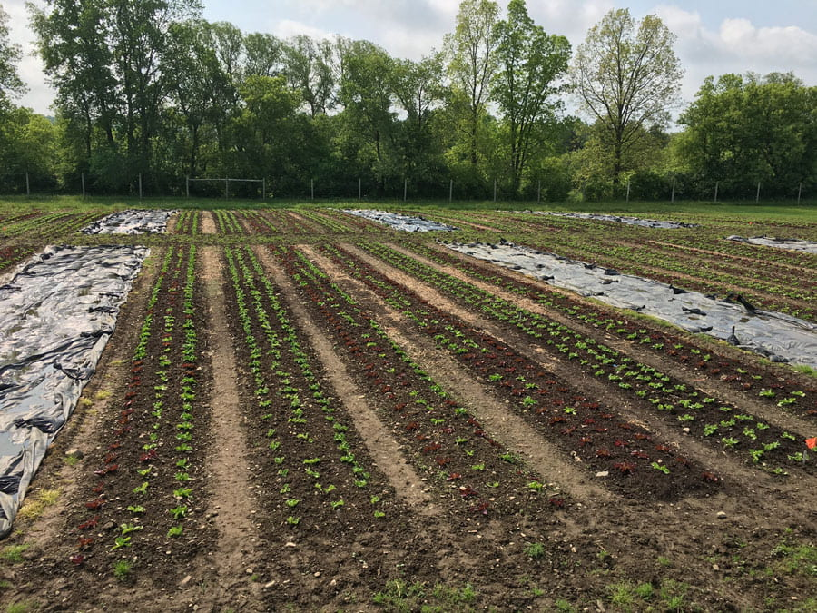 Lettuce in beds for tarping trial