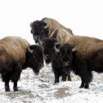 bison snow buffalo