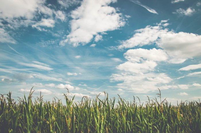 field of corn