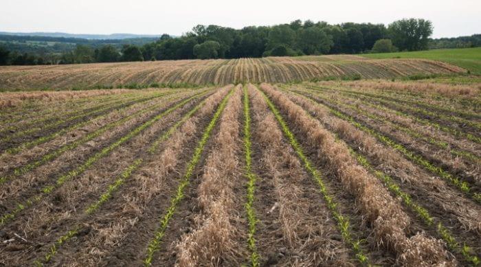 NY corn field
