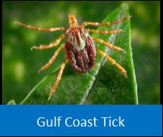 Gulf Coast Tick
