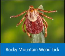 Rocky Mountain Wood Tick