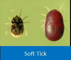 Soft Tick