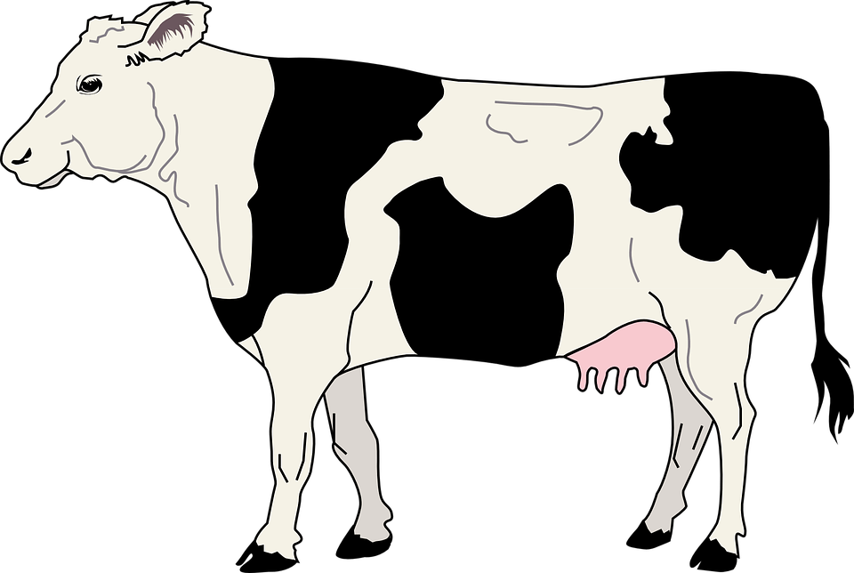 4-H Dairy Cattle Showmanship and Breed: Youth Fair