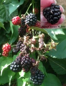 Blackberry showing SWD infestation