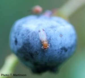 Photo of a male SWD on a blueberry.