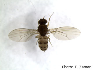 In this photo, the same fly is on it's belly to show the dorsal view. Note that the black bands are broken in the middle. In SWD the bands are unbroken.