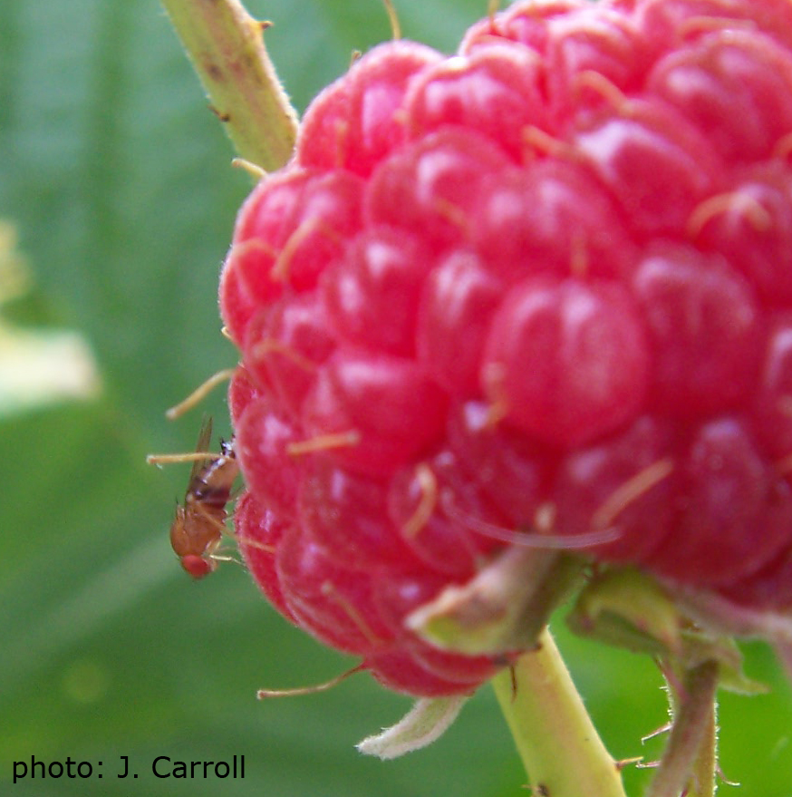 Photo of a female SWD on a raspberry.