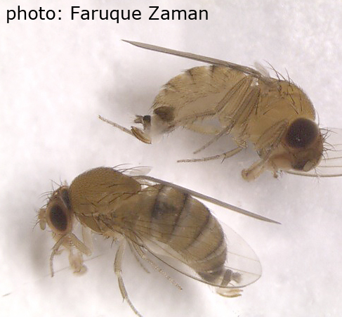 Two spotted wing Drosophila (SWD) females that were caught late last week in Suffolk County. Note the brown, sclerotized ovipositors that can slice through fruit to lay eggs inside.