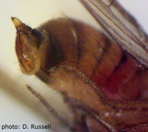 Belly-side-up (ventral) view of the SWD ovipositor, a key characteristic for identification.