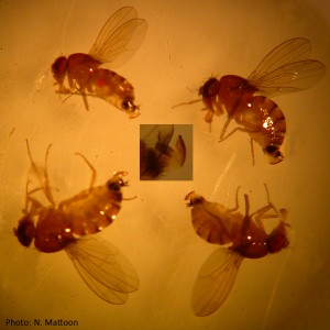 Picture of four female SWD as seen through a dissecting microscope, showing the serrated ovipositor.