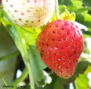 Photo of a probable SWD on a strawberry fruit.