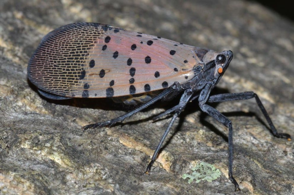 Picture of an adult spotted lanternfly on a tree trunk