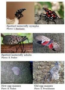 Photo collage showing the life stages of spotted lanternfly.